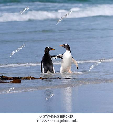 Two Gentoo penguins (Pygoscelis papua) fighting on the beach, Saunders Island, Falkland Islands, South America