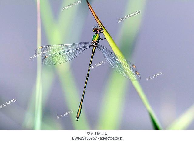 willow mererald damselfly (Lestes viridis, Chalcolestes viridis), male, Germany, Bavaria