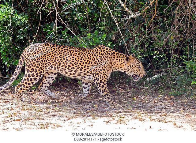 Sri Lanka, Northwest Coast of Sri Lanka, Wilpattu national patk, Sri Lankan Leopard Panthera pardus kotiya), walking