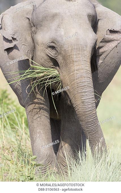 Asia, India, Uttarakhand, Jim Corbett National Park, Asian or Asiatic elephant (Elephas maximus), one animal in the grassland, eating
