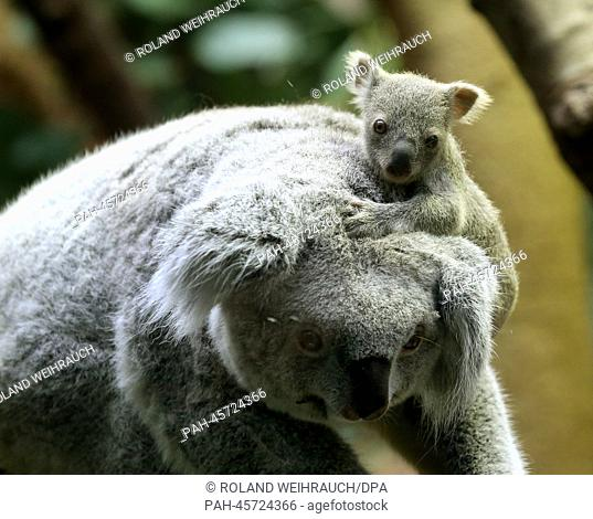The around six-month-old still nameless baby koala sits on its mother's head at the zoo in Duisburg, Germany, 22 January 2014