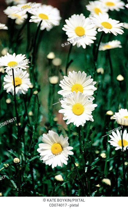 Shasta daisies, Chrysanthemum maximum