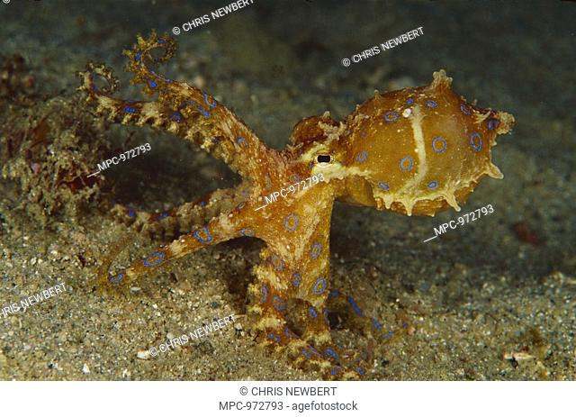 Blue-ringed Octopus Hapalochlaena lunulata, 60 feet deep, Papua New Guinea