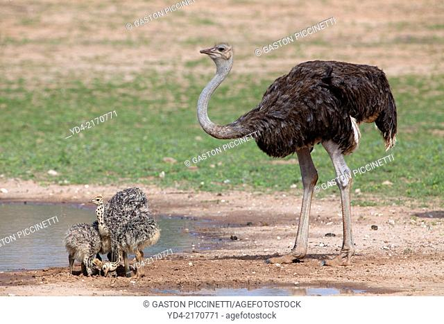 Common ostrich (Struthio camelus) - Youngs, next to its mother,Kgalagadi Transfrontier Park, Kalahari desert, South Africa