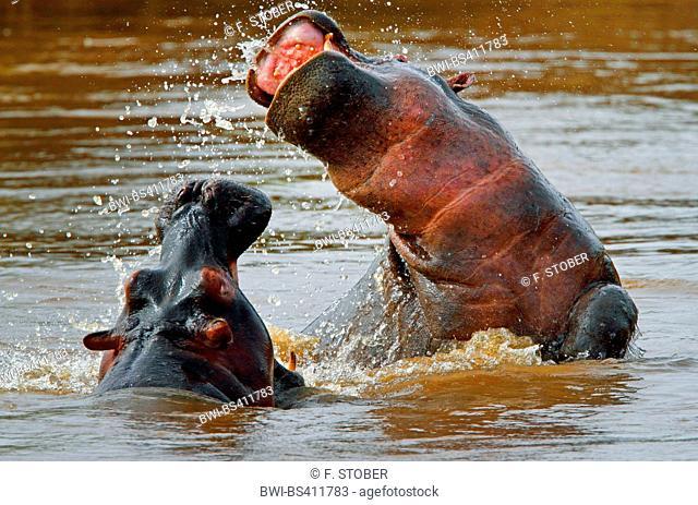 hippopotamus, hippo, Common hippopotamus (Hippopotamus amphibius), two fighting hippos in water, Kenya, Masai Mara National Park