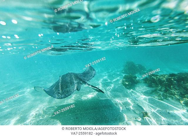 Stingray swim in the bay of Stingray City an authentic sanctuary for marine species. Antigua Leeward Islands. West Indies. Caribbean Central America