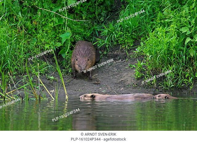 Eurasian beaver / European beaver (Castor fiber) on riverbank and family members swimming by