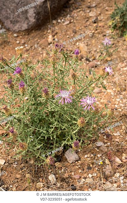 Brasera del Cabo (Centaurea barrasii) is a perennial herb endemic to Almeria, Andalucia, Spain. This photo was taken in Cabo de Gata Natural Park
