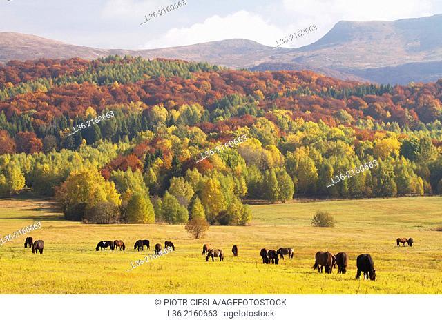 Horses grazing under Tarnica Mountain. Bieszczady Mountains. Poland. Autumn