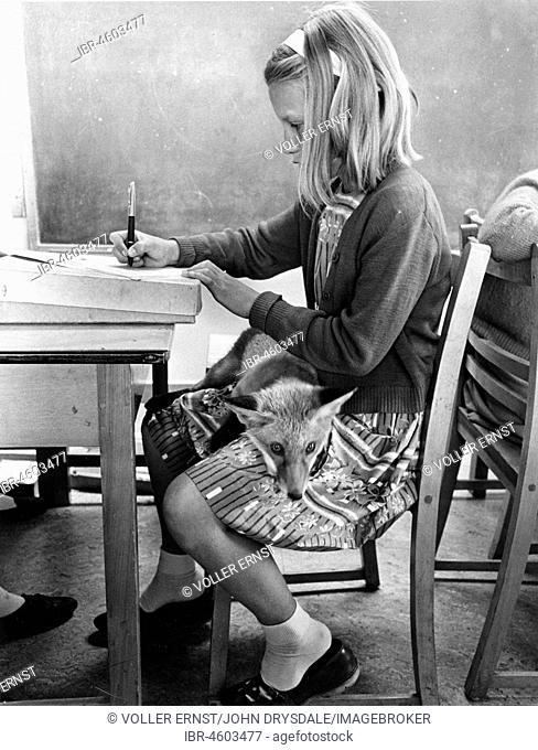Girl with a fox in school, England, Great Britain