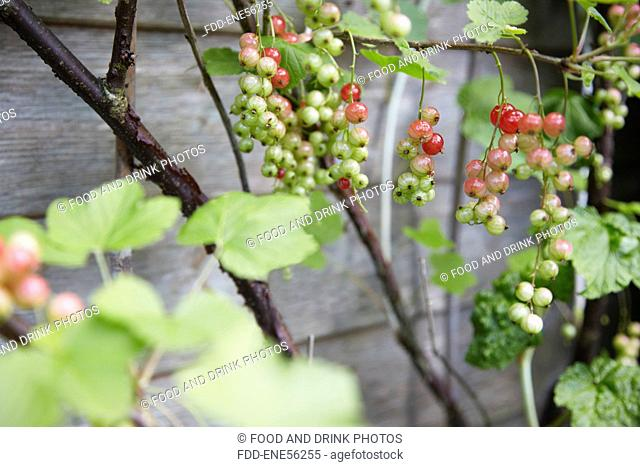 Red currants on a bush beginning to ripen