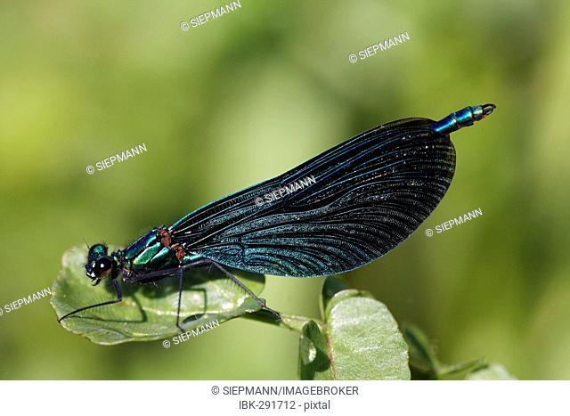 Beautiful demoiselle, male, Calopteryx splendens