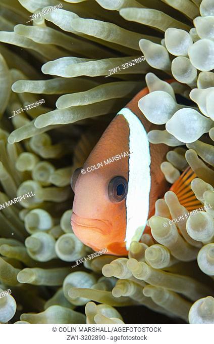 Tomato Anemonefish (Amphiprion frenatus) in Bulb Tentacle Anemone (aka Bubble Tip Anemone, Entacmaea quadricolor), Lone Tree dive site, Dili