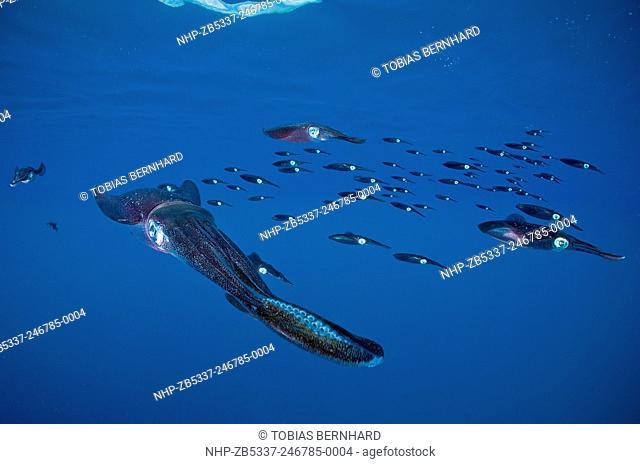 Bigfin reef squid, sepioteuthis lessoniana, Fiji