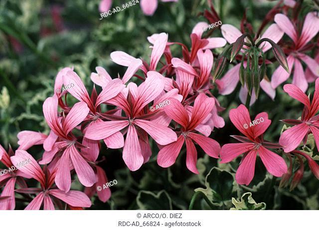 Geranium Pelargonium pelatum
