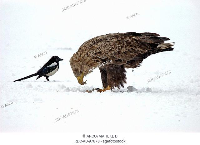 White-tailed Sea Eagle with prey and Magpie, Biosphere Preserve Schorfheide-Chorin, Brandenburg, Germany, Haliaeetus albicilla, Pica pica