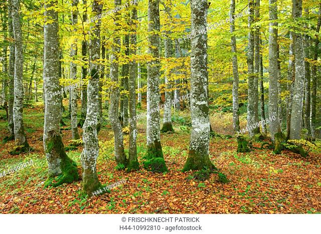 Beech forest in autumn, Switzerland