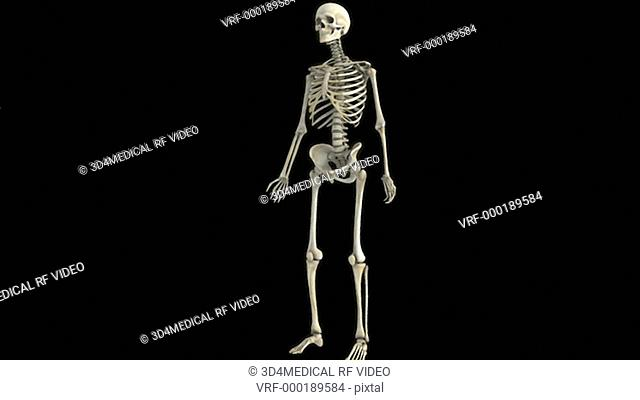 Animation depicting the skeleton which fades into x-ray style. The camera swings 180 degrees and back again as it zooms toward the skeleton