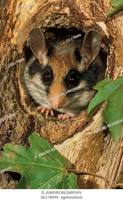 garden dormouse - looking out of hollow trunk / Eliomys quercinus
