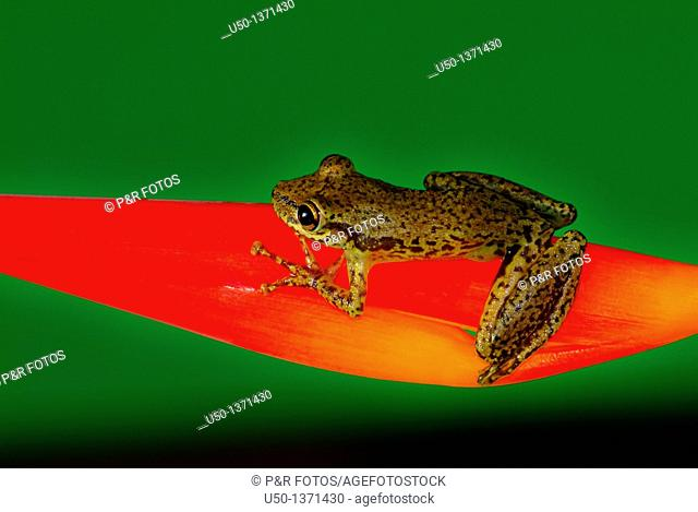 Tree frog Hylidae, Anura on bracts of Heliconiaceae, Acre, Brazil, 2009