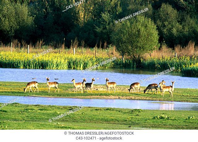 Fallow Deers (Dama dama). Doñana National Park. Huelva province. Andalusia. Spain
