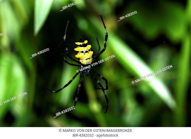 Wasp Spider (Argiope coquereli), Analamazoatra, Andasibe National Park, Madagascar