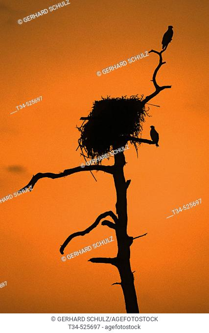 Osprey. Pandion haliaetus. Sanibel Island. Florida, USA