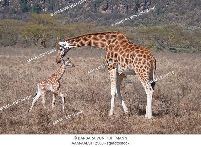 Rothschild's Giraffe (Giraffa camelopardalis rothschildi) and baby, Lake Nakuru National Park, Kenya