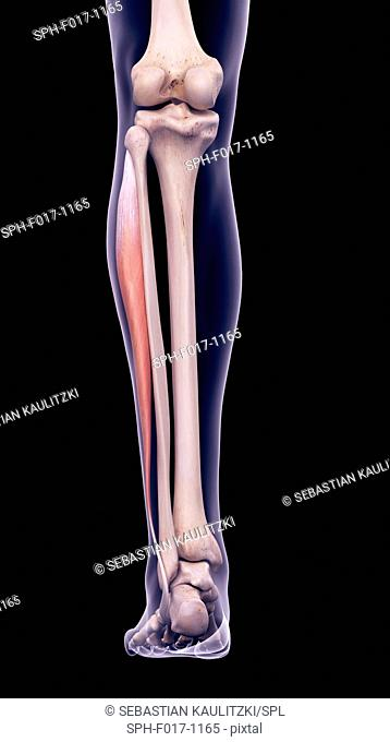 Illustration of the peroneus longus muscle