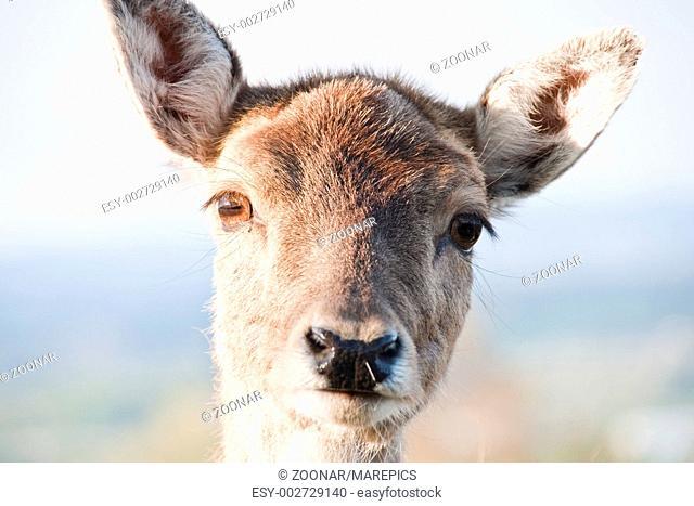 Hirschkuh deer