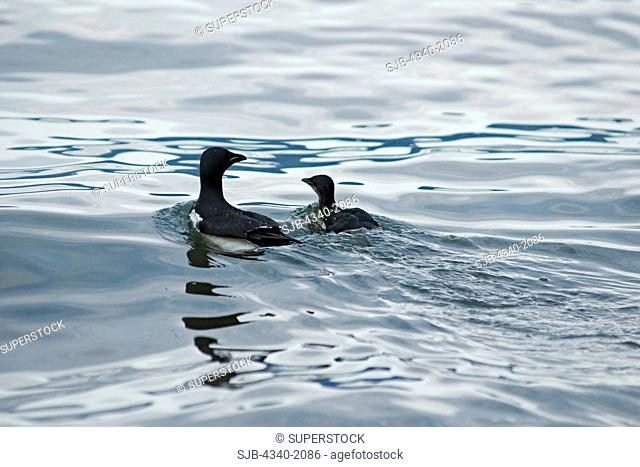 Brunnich's guillemot Uria lomvia chick swims with a parent and heads out to fish, Sassenfjorden, along the coast of Svalbard, Norway, in summertime