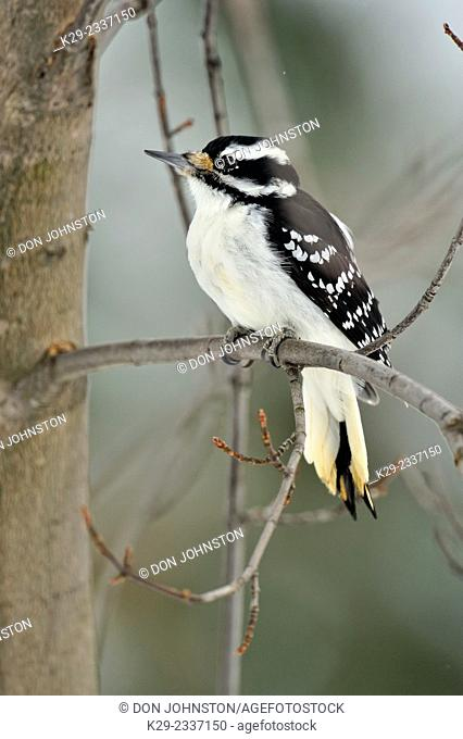 Hairy woodpecker (Picoides villosus) female, Greater Sudbury (Lively), Ontario, Canada