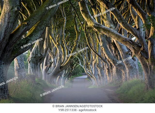 Misty dawn at 18th Century Beech Tree lined road known as the Dark Hedges near Stanocum, County Antrim, Northern Ireland, UK