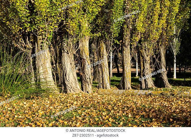 Black poplar (Populus nigra), Villalgordo del Marquesado, Cuenca province, Castilla-La Mancha, Spain