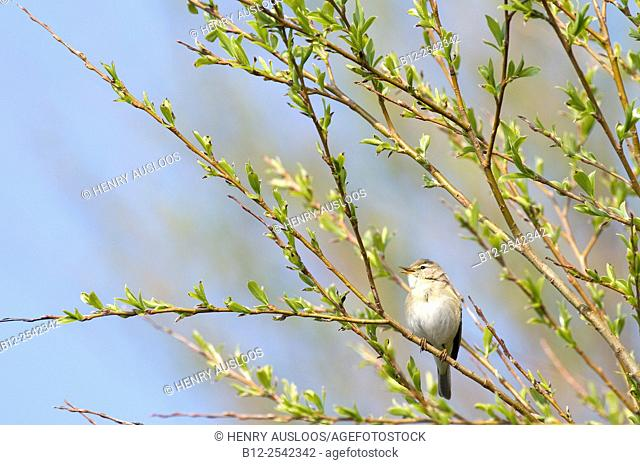 Willow Warbler - Singing Phylloscopus trochilus, France