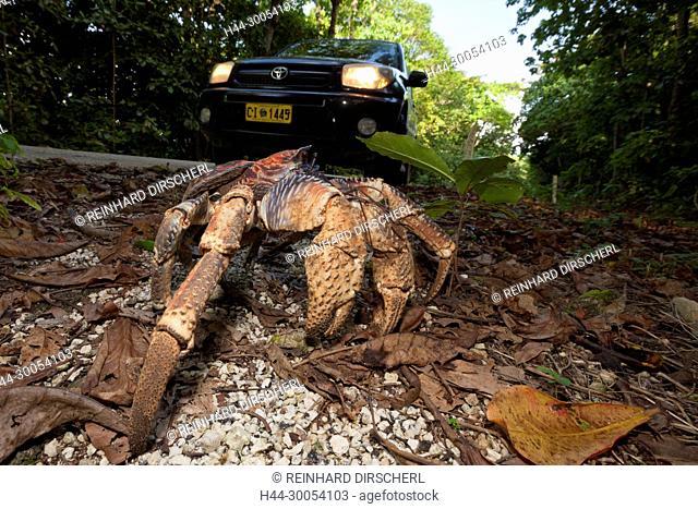 Robber Crab crosses Road, Birgus latro, Christmas Island, Australia