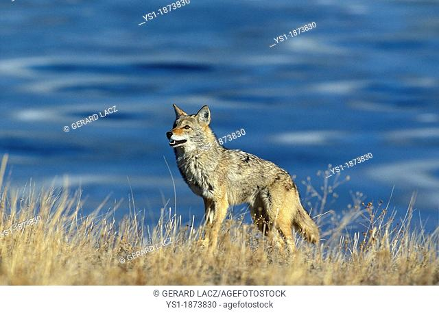 Coyote, canis latrans, Adult standing in Long Grass, Montana