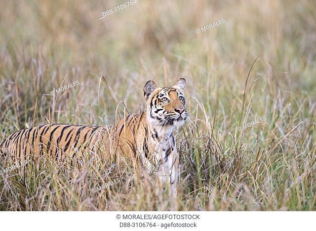 Asia, India, Uttarakhand, Jim Corbett National Park, Bengal Tiger ( Panthera tigris tigris), in grassland looking for a prey