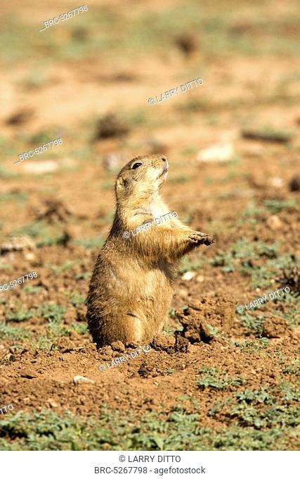 Black tailed prairie dog barking Stock Photos and Images | age fotostock