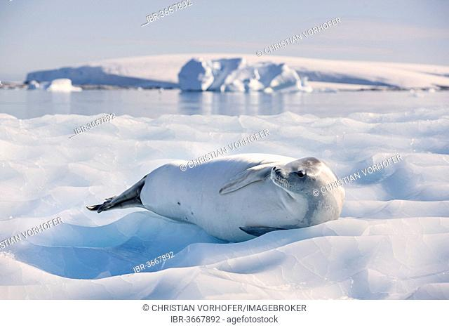 Leopard Seal (Hydrurga leptonyx) lying on an ice floe, Antarctica