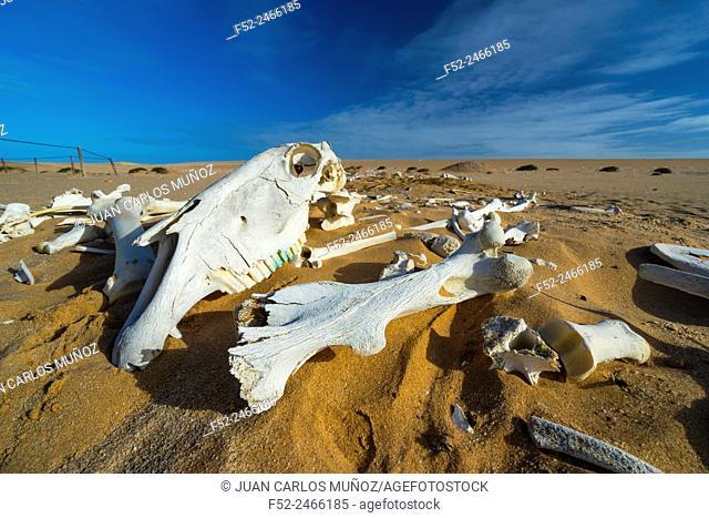 Horse bones, Sand Dunes, Swakopmund, Namibia, Africa