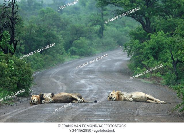 Two male Lions Panthera leo enjoying lying out in the rain Hluhluwe-Imfolozi Game Reserve, Kwazulu-Natal