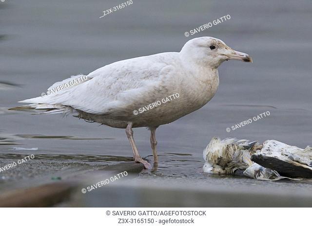 Glaucous Gull (Larus hyperboreus), juvenile feeding on a gull, Berlevåg, Finnmark, Norway