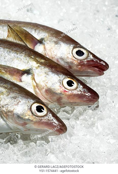 Fresh Whiting, merlangius merlangus, Fishes on Ice