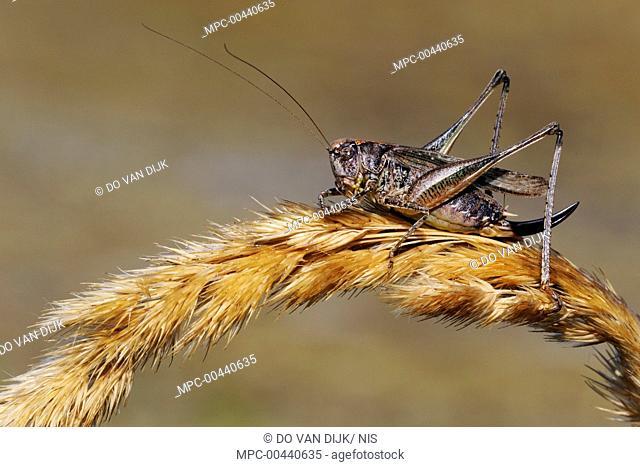 Grey Bush Cricket (Platycleis albopunctata) on reed seed head, Noord-Holland, Netherlands