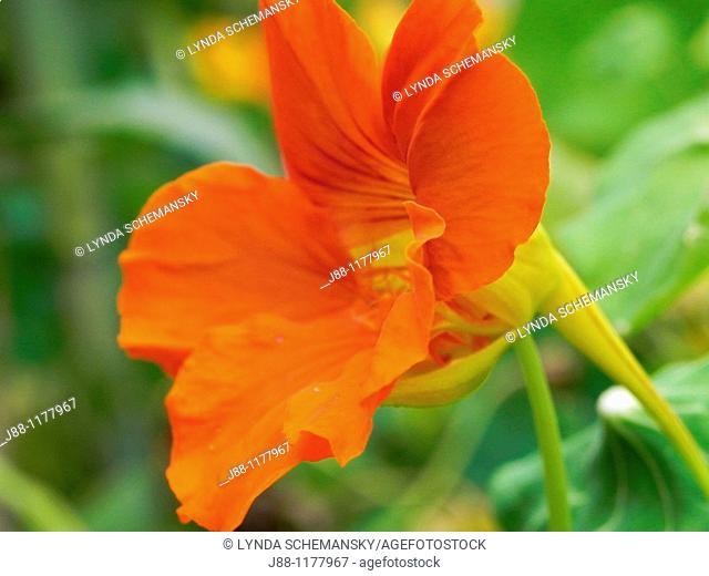 Nasturtium flower - Tropaeolum majus