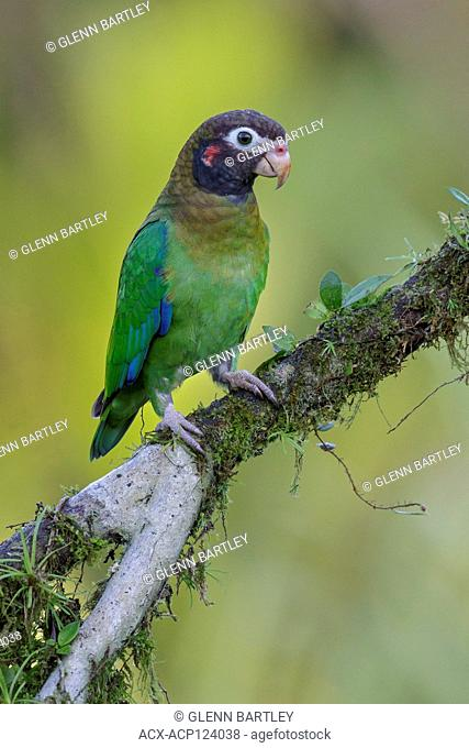 Brown-hooded Parrot (Pyrilia haematotis) perched on a branch in Costa Rica