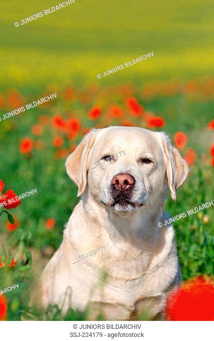 Labrador Retriever. Adult male sitting in a field of flowering poppies. Germany