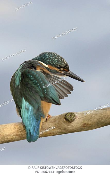 Common Kingfisher ( Alcedo atthis ), perched on a branch, backside view, cleaning its feathers, plumage, soft background, wildlife, Europe