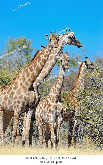 Giraffes (Giraffa camelopardalis), adult, young and baby, in dry grass, Etosha National Park, Namibia, Africa